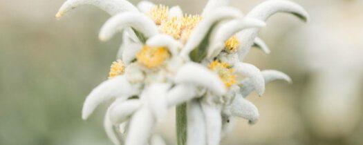 L'edelweisspour la peau: découvrez tous ses bienfaits