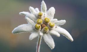 Quels sont les bienfaits de l'edelweiss sur la peau ?